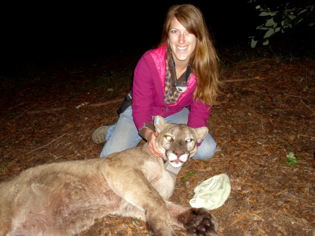 Doctoral student Justine Smith studies how how pumas feed near human communities in the Santa Cruz mountains of California. Photo courtesy of Justine Smith.