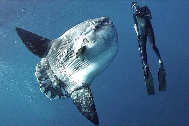 Face to Face with the Ugly, Marvelous Mola Mola
