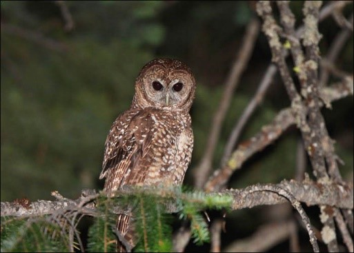 The California spotted owl. Photo from Flickr by Julio Mulero