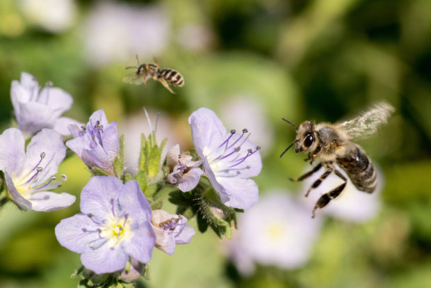A native bee (Halictus tripartitus) makes way for an incoming honeybee at a Great Valley phacelia (Phacelia ciliata) at a forb planting in California's Yolo County. Credit: Leithen M'Gonigle. Used with permission.